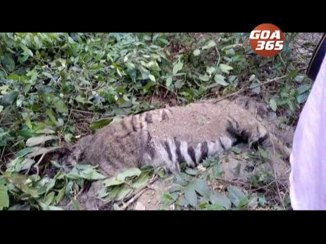 Dead tiger in Sattari raises eyebrows among environmentalists