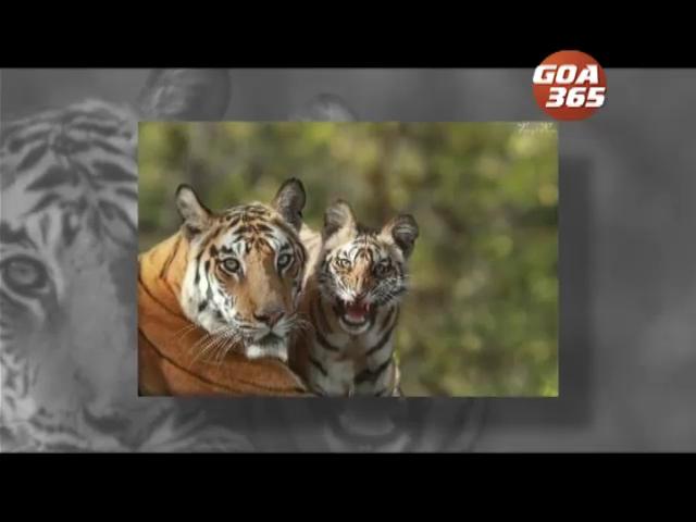 Declare areas having no human habitat a tiger zone: Rajendra Kerkar