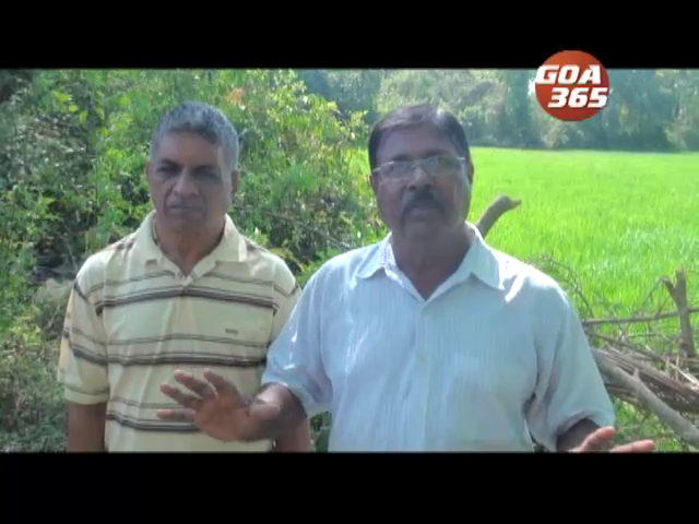 Ex-mining worker shows the farming way in Navelim