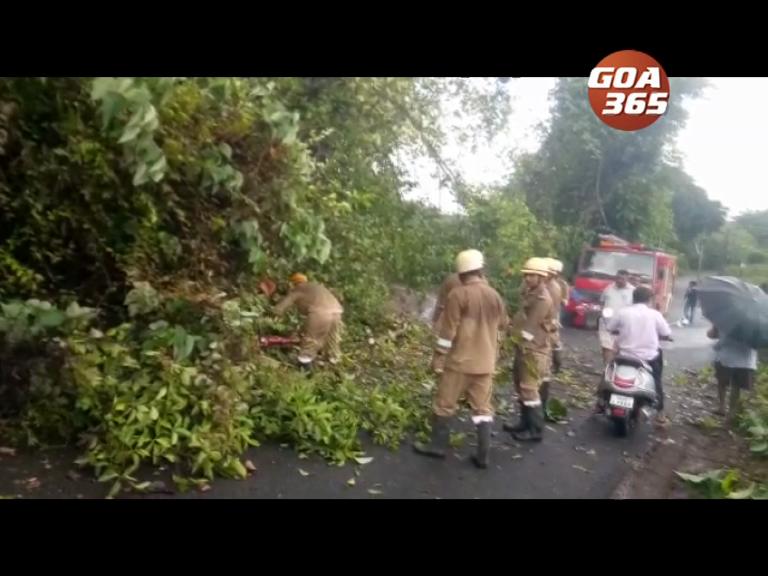 Fallen tree blocks traffic for an hour at Kandola