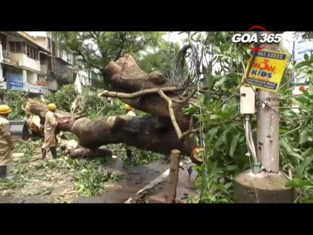 Tragedy averted: Giant Mango tree falls at Tonca, Panaji