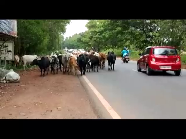 Accidents abound on Cuncolim NH17 due to stray cattle