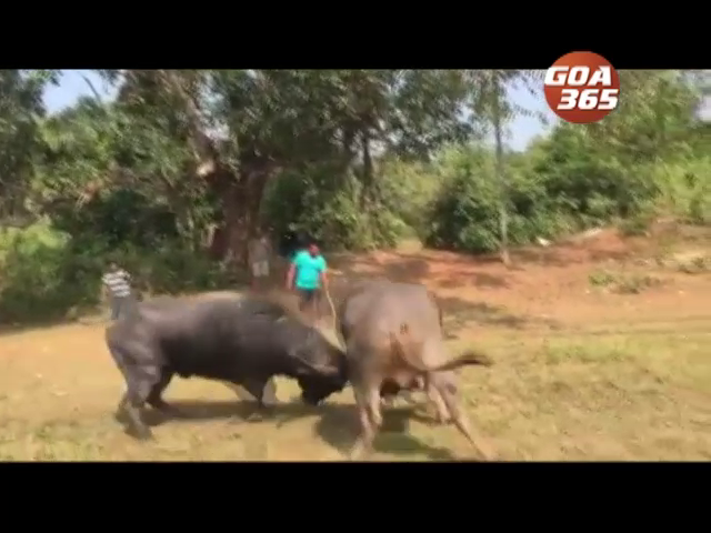 'Bullfight must resume' MLAs in the house
