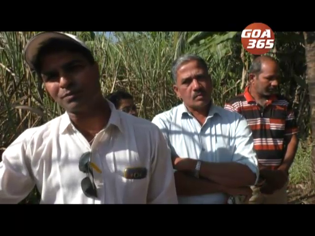 Sugarcane farmers worried due to delay in harvesting