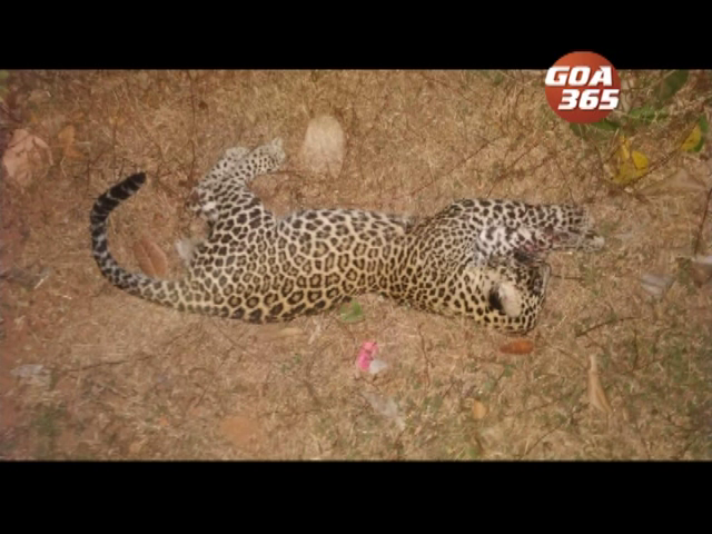 Speeding car kills a leopard at Mayem
