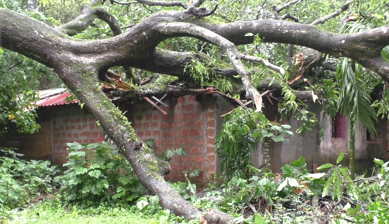 Tree falls on a house in Siolim, causing severe damage