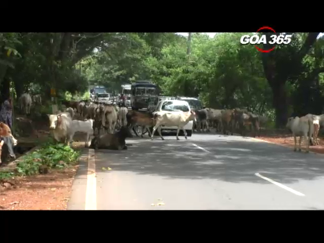 Cattle on the roads create blockades in Chinchinim