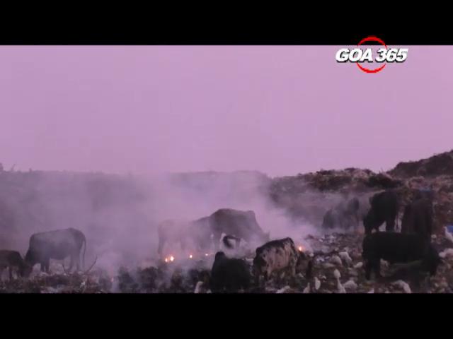 Cattles harmed as Bicholi dumpyard catches fire