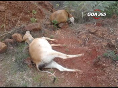 Dead cattle raise panic in Quepem villages