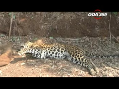 Dead leopard exposes illegal wild boar catch