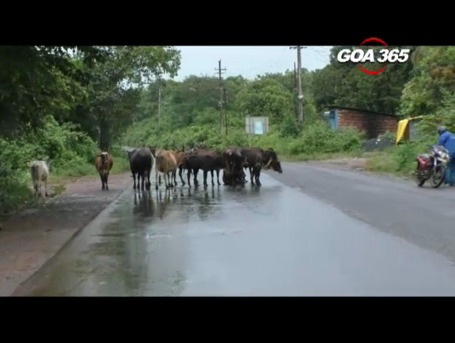 NGO takes initiative for preventing road accidents due to Stray cattle
