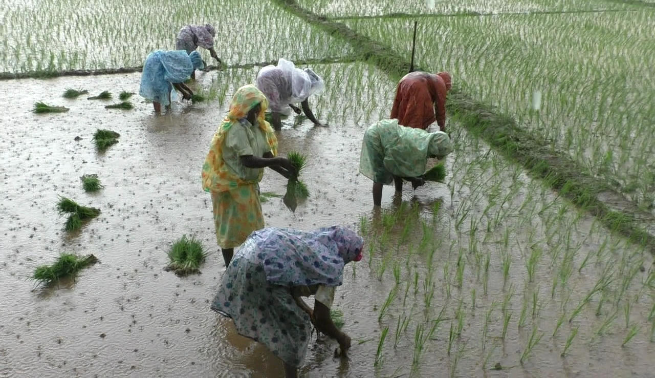 Rachol paddy fields cultivation, a community exercise.