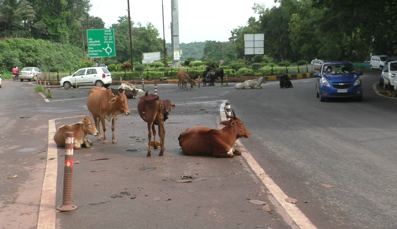 Stray animals on street leads to traffic congestion and accident